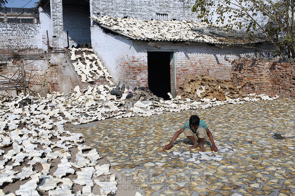 A child labourer sorts drying pig skins in a small factory in the Jajmau area of Kanpur.
