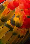 Scarlet macaw, Iguaca National Park, Brazil