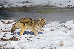Adult coyote (Canis latrans) foraging. Hayden Valley, Yellowstone National Park, Wyoming, USA.