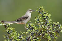 Northern Mockingbird (Mimus polyglottos), adult eating Elbow bush (Forestiera pubescens) berries, Rio Grande Valley, South Texas, Texas, USA