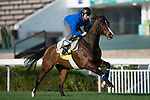SHA TIN,HONG KONG-DECEMBER 08 : Signs of Blessing,trained by Francois Rohaut,exercises in preparation for the Hong Kong Sprint at Sha Tin Racecourse on December 8,2017 in Sha Tin,New Territories,Hong Kong (Photo by Kaz Ishida/Eclipse Sportswire/Getty Images)