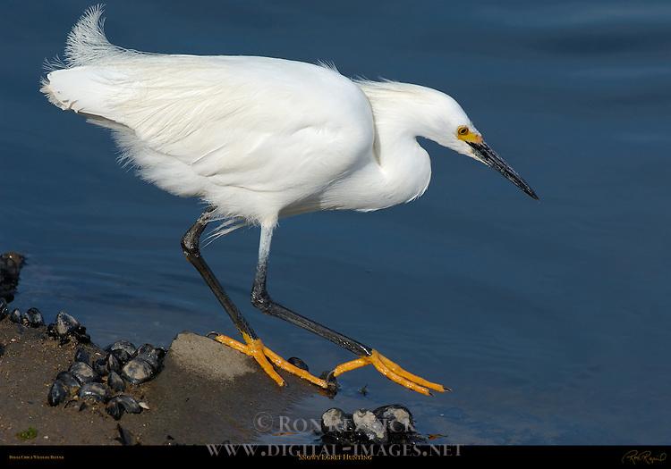 Snowy Egret Hunting Close Portrait Bolsa Chica Wildlife Refuge Southern California
