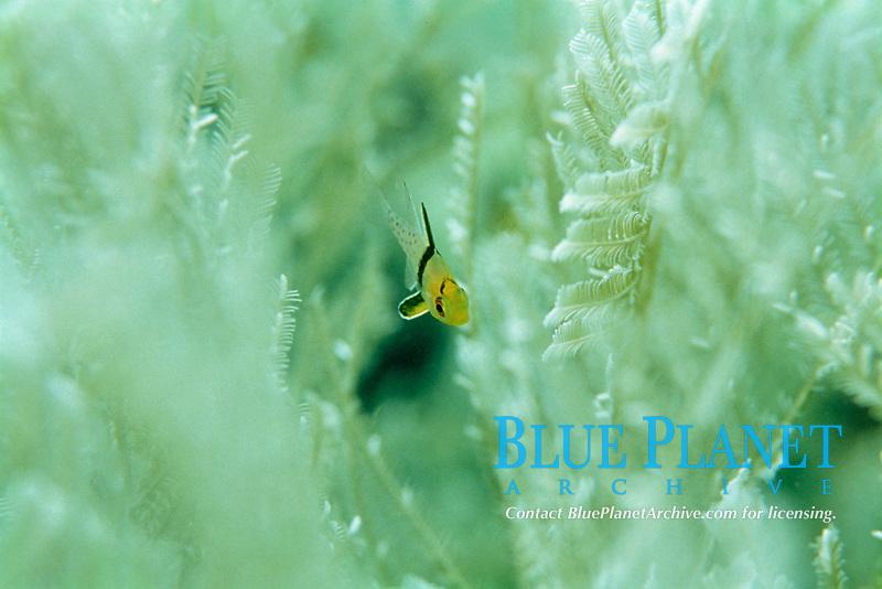 pyjama cardinalfish, Sphaeramia nematoptera, size of 1 cm, Mabul Island, Borneo, Malaysia, Indo-Pacific Ocean