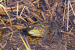 Attwater Prairie Chicken NWR, Eagle Lake, Texas; an American bullfrog resting in the shallow water along the bank of a pond in the prairie
