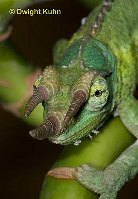CH35-534z  Male Jackson's Chameleon or Three-horned Chameleon, close-up of face, eyes and three horns, Chamaeleo jacksonii