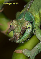CH35-534z  Male Jackson's Chameleon or Three-horned Chameleon, close-up of face, eyes and three horns, Chamaeleo jacksonii