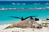 endemic Hawaiian monk seal, Neomonachus schauinslandi ( Critically Endangered Species ), yawns while resting on beach while shedding skin and fur during annual molt or molt, black-footed albatrosses, Phoebastria nigripes, in background, East Island, French Frigate Shoals, Papahanaumokuakea Marine National Monument, Northwest Hawaiian Islands, USA ( Central Pacific Ocean )