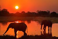 African bush elephant, African savanna elephant, Loxodonta africana, drinking, at sunset, Moremi Game Reserve, Okavango Delta, Botswana