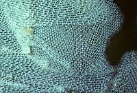 Flache Seerinde, Membranipora membranacea, sea-mat, lacy crust bryozoan, Moostierchen