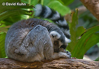 0303-1103  Resting Ring-tailed Lemur, Lemur catta  © David Kuhn/Dwight Kuhn Photography