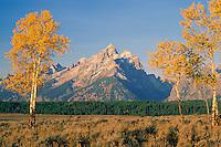 Aspens in Snake River Valley<br />   and the Grand Teton,  Teton Range<br /> Grand Teton National Park<br /> Rocky Mountains,  Wyoming
