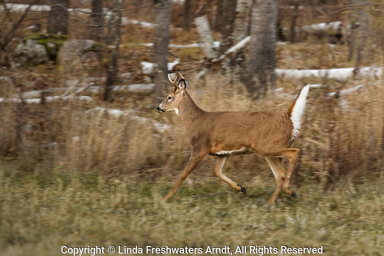 Young white-tailed buck running along the forest's edge in northern Wisconsin.