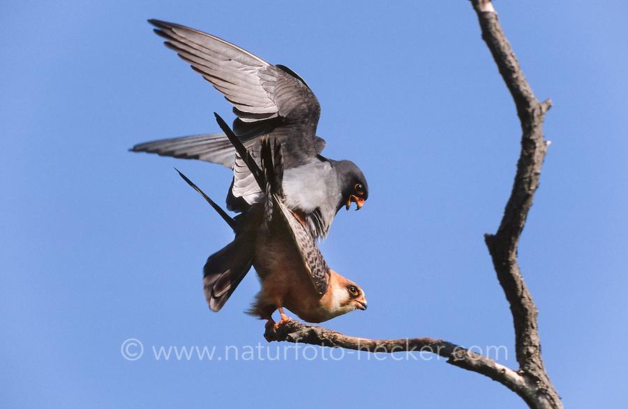 Rotfußfalke, Paarung, Kopula, Kopulation, Falken, Falke, Falco vespertinus, red-footed falcon, western red-footed falcon, pairing, copulation, Le Faucon kobez