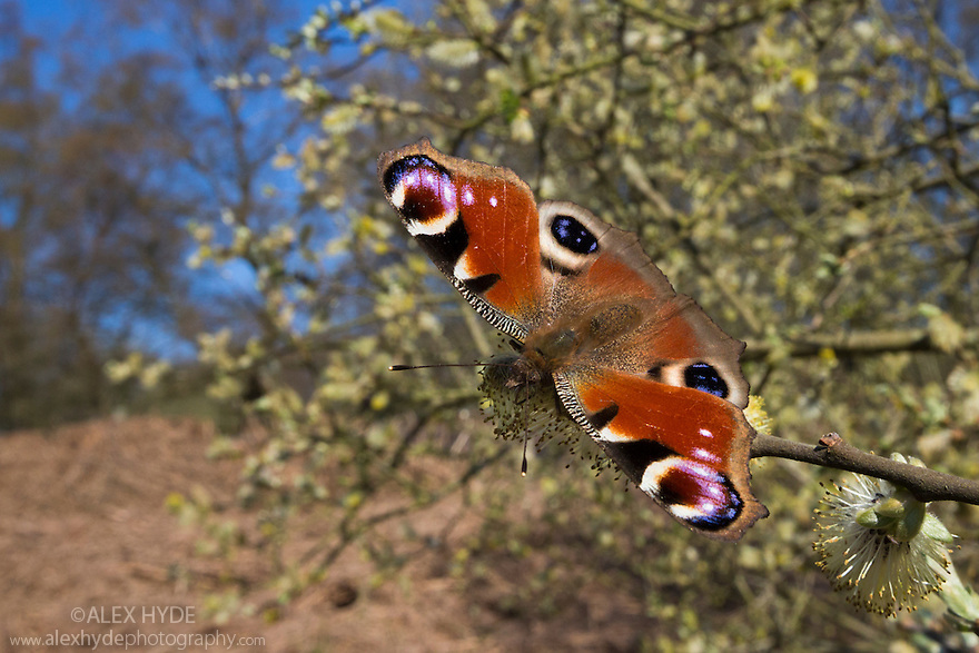Peacock Butterfly (Inachis io) feeding on Goat Willow catkins (Salix caprea), an important food source for pollinators in early spring. Peak District National Park, UK. April.