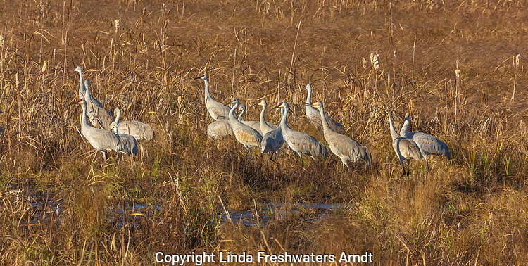 Sandhill cranes in Crex Meadows (northwestern Wisconsin).