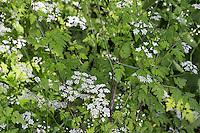 Taumel-Kälberkropf, Hecken-Kälberkropf, Heckenkälberkropf, Taumelkälberkropf, Taumel-Kerbel, Betäubender Kälberkropf, Taumel-Kälberkopf, Hecken-Kälberkopf, Chaerophyllum temulum, Chaerophyllum temulentum, Rough chervil