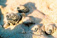 Kemp's ridley sea turtle hatchlings, Lepidochelys kempii, emerging from nest, Rancho Nuevo, Mexico, Gulf of Mexico, Caribbean Sea, Atlantic Ocean