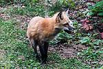 Red fox medium shot standing facing 45 degrees to camera.