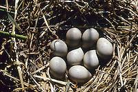 Blässralle, Blässhuhn, Ei, Eier, Gelege im Nest, Zappe, Fulica atra, coot, Bläß-Ralle, Bläßralle, Bläss-Ralle, Blessralle, Bleß-Ralle, Bleßralle, Bless-Ralle, Ralle, Bläß-Huhn, Bläßhuhn, Bläss-Huhn, Blesshuhn, Bleß-Huhn, Bleßhuhn, Bless-Huhn,