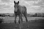 Palomino in black & white