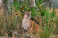 Florida panther (Felis concolor coryi), Florida, endangered species.