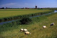 AJ2175, sheep, canal, Netherlands, Europe, Sheep grazing on the lush green pasture along dike near canal and windmills in Schermerhorn.