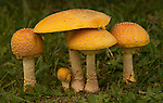 Amanita yellow patches mushrooms