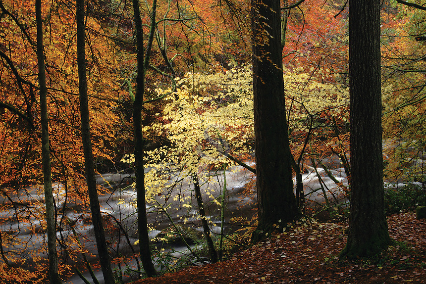 Autumn Woodland and the River Dee near Ballater, Cairngorm National Park, Aberdeenshire
