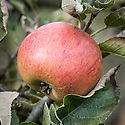 Apple 'Foster's Seedling', late September. An English culinary apple introduced in about 1893 by G. Bunyard of Maidstone, Kent.