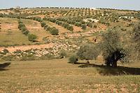 Near Tarhouna, Libya - Countryside, with Olive Trees