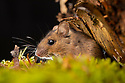 Wood Mouse (Apodemus sylvaticus). Controlled conditions, Aigas Field Centre, near Inverness, Scotland.