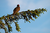 Turkey Vulture (Cathartes aura). Oregon. June.