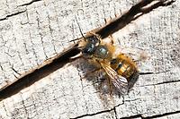 Rote Mauerbiene, Rostrote Mauerbiene, Mauerbiene, Mauer-Biene, Männchen, Osmia bicornis, Osmia rufa, red mason bee, mason bee, male, L'osmie rousse, Mauerbienen, mason bees