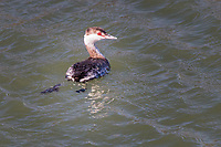 Its bright red eye identifies this grebe, a horned grebe, paddling around San Leandro Bay at the Martin Luther King Jr. Regional Shoreline in Oakland, California.