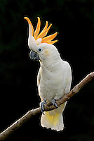 The Citron-crested Cockatoo (Cacatua sulphurea) citrinocristata is a medium-sized cockatoo with an orange crest, dark grey beak, pale orange ear patches, and strong feet and claws. The underside of the larger wing and tail feathers have a pale yellow colour. The eye colour ranges from brown through very dark brown to black. Both sexes are similar. It's status in the wild is Critically Endangered.