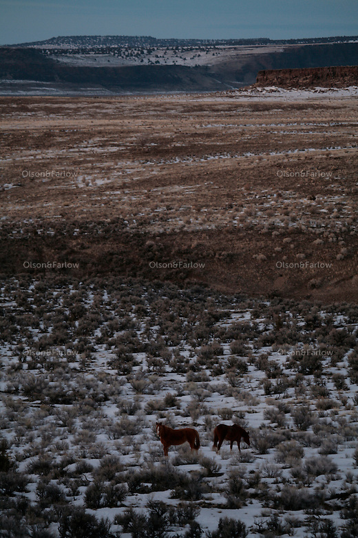 Mustangs paw through a light February snow in Steens mountain in Oregon.
