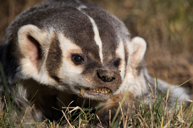 Badger snarling