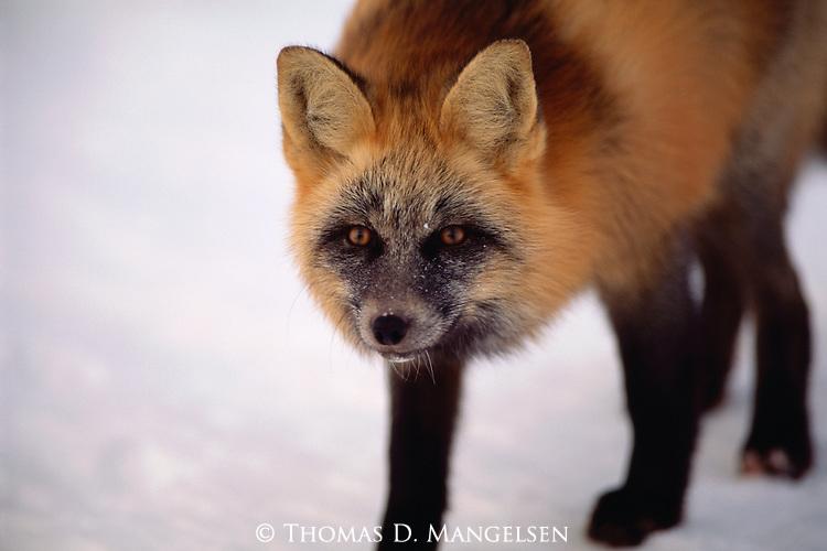 A cross fox hunts the tidal flats of Hudson Bay in Manitoba, Canada.