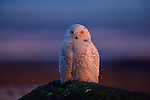 A snowy owl sits on a moss covered log.