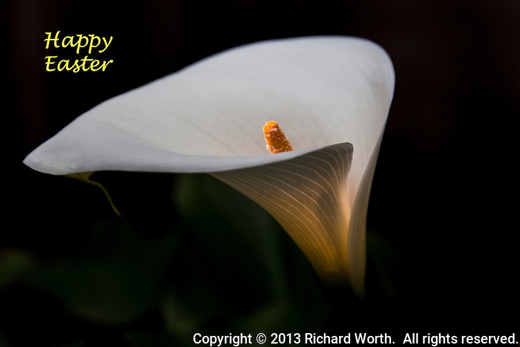 A glowing Calla Lily with a Happy Easter text greeting in the upper left cornier.  Additional copy space lower left and right.