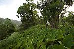 """.champs luxuriants de taros ou """"choux chinois"""" (colocasia esculenta) près du  Fonds Saint Denis"""