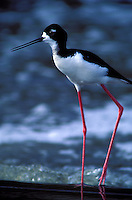 Hawaiian Stilt-male-Oahu. Endangered Species