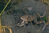 Grasfrosch, mit Laich, Laichklumpen, Eiern, Paarung, Gras-Frosch, Frosch, Rana temporaria, European Common Frog, European Common Brown Frog