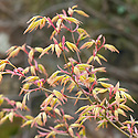 New foliage of Japanese maple (Acer palmatum 'Orange Dream'), early April.