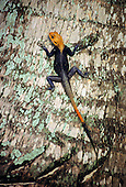 Makande, Gabon. Dark coloured lizard with an orange head climbing a tree (Agama agama).