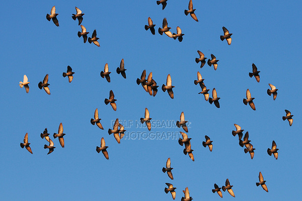 Rock Pigeon (Columba livia),  flock in flight, Zug, Switzerland, Europe
