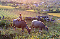 Wasserbüffel in Hue, Vietnam