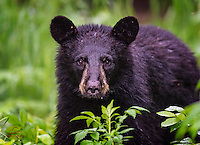 When she wanted to pass, this small female Black Bear (Ursus americanus) nudged me out of the way with her wet nose.  After encountering two larger male bears fighting, she turned around and clearly wanted to get back the way she came.  I quickly moved out of her way and let her pass.