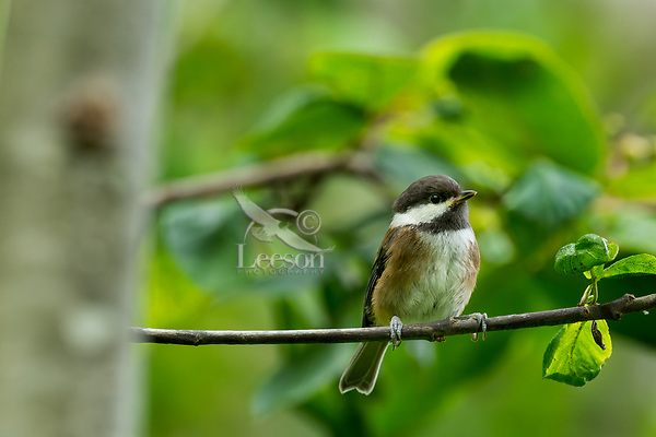 Chestnut-backed Chickadee (Poecile rufescens). Pacific Northwest.  June.