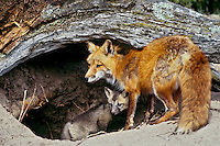 Red fox (Vulpes vulpes) adult with young at den.  Montana.  June.  (CA).